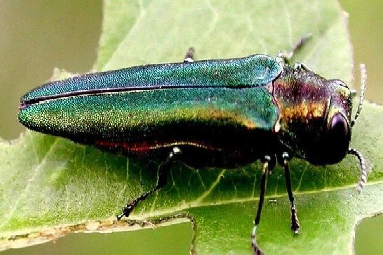 City Officials Asked To Adopt Management Plan For Emerald Ash Borer