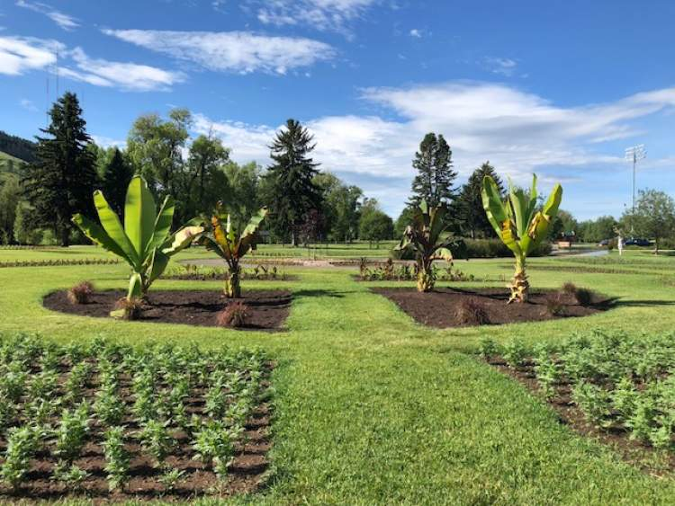 Four banana plants stand guard at the Formal Gardens area at Sioux Park.