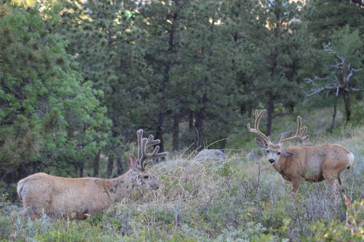 A couple of bucks enjoy the foliage near Dinosaur Park and the Skyline Wilderness Trail system.